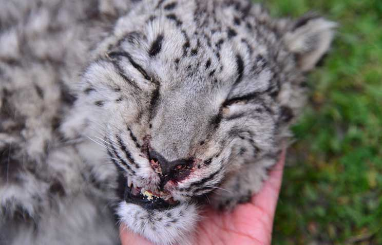 Encounter With Dead Snow Leopard In Ghunsa 5