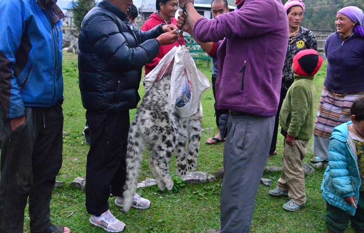 Encounter With Dead Snow Leopard In Ghunsa 8